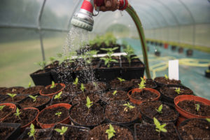 piante serra CBD